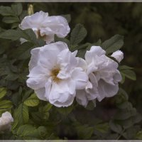 Белый шиповник :: Aнна Зарубина