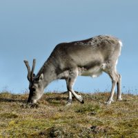 Шпицберген, край северных оленей :: Tatiana Belyatskaya