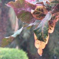 Кротон под дождем :: Герович Лилия