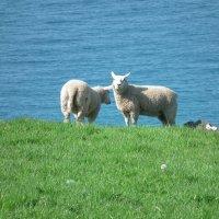Овцы на крутом берегу :: Natalia Harries