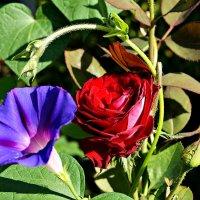 вьюнок и роза (2) :: Александр Корчемный