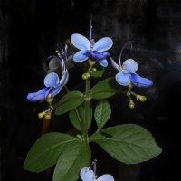 Цветок бабочка :: Василиса Никитина