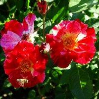 Розы и пчела :: Владимир Бровко