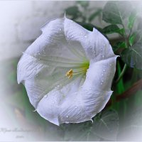 Дурман-цветок Любви!!! :: Юрий Владимирович