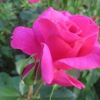 Королева цветов... :: Valentina