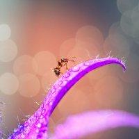 Муравей на цветке после дождя :: Наталья Мячикова