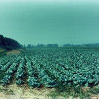 Капустное поле. :: Валерий Молоток