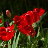 бушевало пламя тюльпанов :: gribushko грибушко Николай