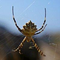 Крымский паук. :: владимир