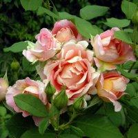 Розы августа... :: Елена