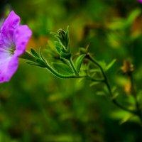 про цветы :: Anrijs Slišāns