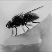 Муха - Цокотуха  фауна насекомое муха :: Надежда Чернецкая