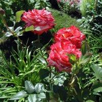 Розы . :: Мила Бовкун