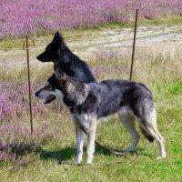 Пастушьи собаки :: Nina Yudicheva