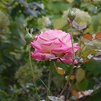 Благородная роза :: Маргарита Батырева