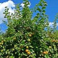 """""""Есть в слове август…привкус яблок, Созрели и согнули ветки..."""" :: Galina Dzubina"""