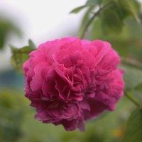 Чайная роза. :: Олег Афанасьевич Сергеев