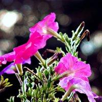 Цветы :: Шура Еремеева