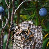 Осиное гнездо :: Сергей Яценко