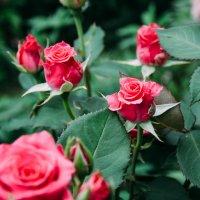 Розовые Розы :: Александр Ребров