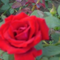 Бархатная роза :: Танцюра Татьяна