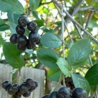 черноплодная рябина :: tgtyjdrf