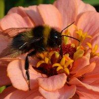 Пчёлка :: Вера Андреева