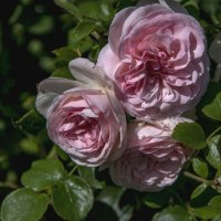 роза :: Яков Реймер