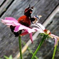 Поцелуй бабочек.Третий лишний. :: Андрей Скорняков