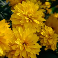 Красивые жёлтые цветы :: Света Кондрашова