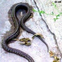 Опасность под ногами – в некоторых районах Луганска возникла большая вероятность встречи со змеёй :: Наталья (ShadeNataly) Мельник