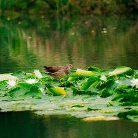 Птичка на водных Лилиях :: Любомир Дужак