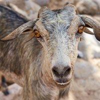 Оманский козел :: Сергей Рычков