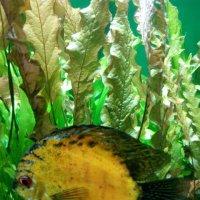Золотая рыбка) :: Наталья Куклина