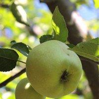 Яблонька и яблочки :: Юлия Грозенко