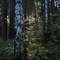 В густом лесу темнеет рано... :: Александр Попов