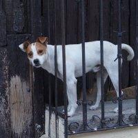Куба. Собака с человеческими глазами :: Gal` ka