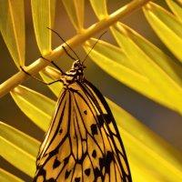 Бабочка-красавица :: Olcen - Ольга Лён