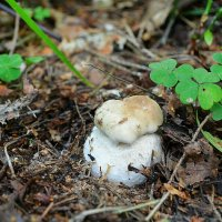 Рождение белого гриба :: Милешкин Владимир Алексеевич