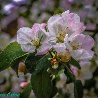 Цвет яблони :: Владимир Орлов
