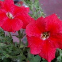 Красные Петуньи... :: Тамара (st.tamara)