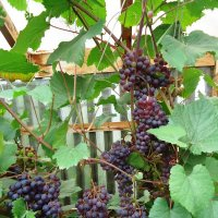 Сибирский виноград :: Лариса Рогова