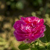 роза :: Дмитрий Потапкин