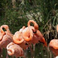 Фламинго :: IURII