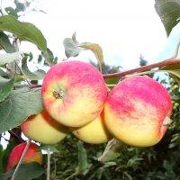 Урожай :: Лариса Рогова
