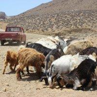 Будни пастуха :: Анастасия Дроздова