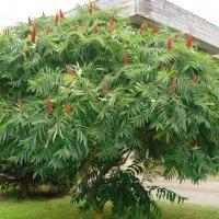 Уксусное дерево :: laana laadas