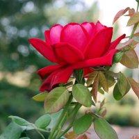 И ещё раз о розах)) :: Андрей Заломленков