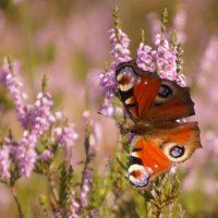 "Бабочка- "" Павлиний глаз "" :: Larisa Freimane"