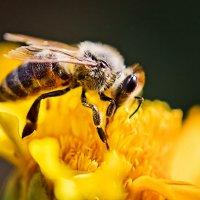 Пчелка на желтом :: Татьяна Губина